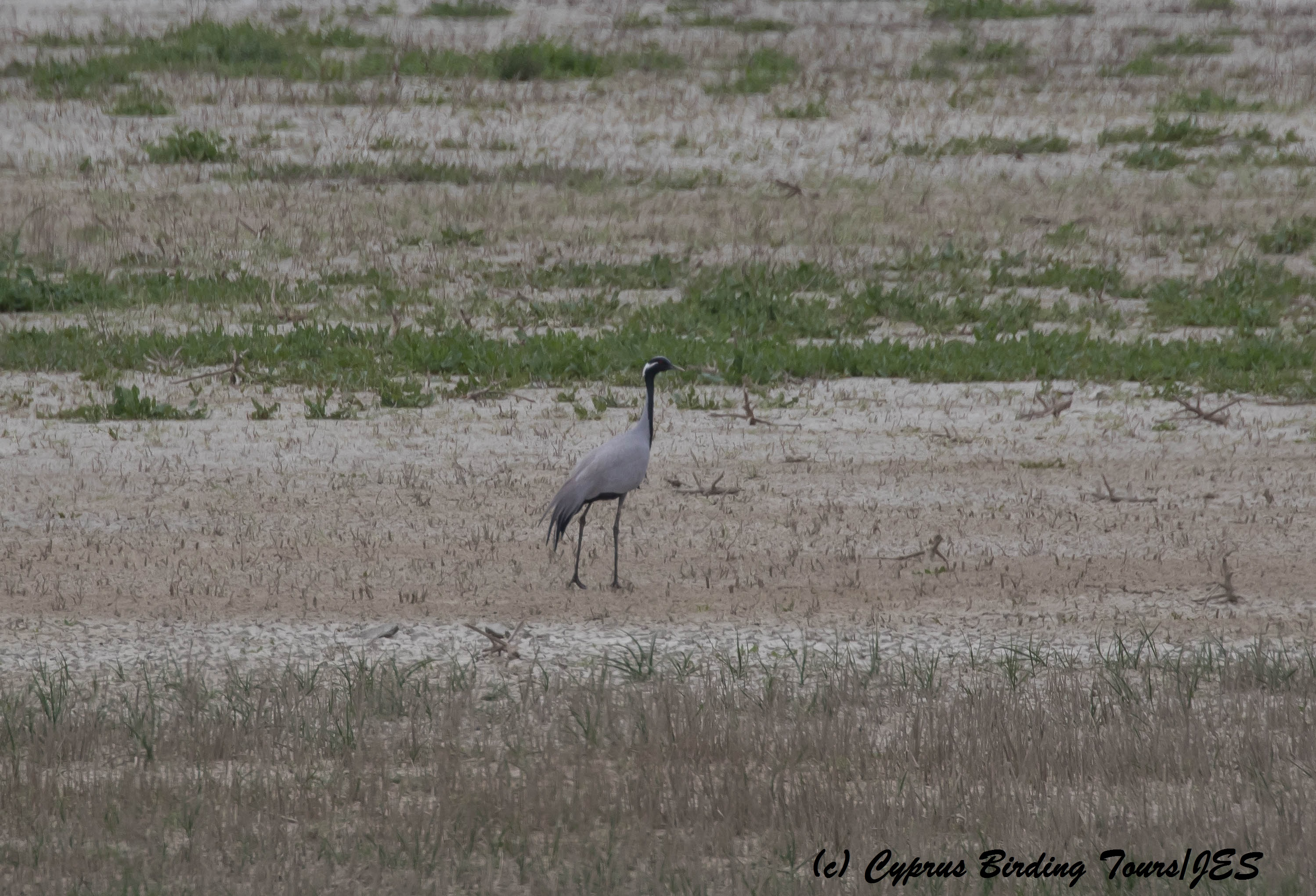 Demoiselle Crane, Kouklia Dam 25th March 2016 (c) Cyprus Birding Tours