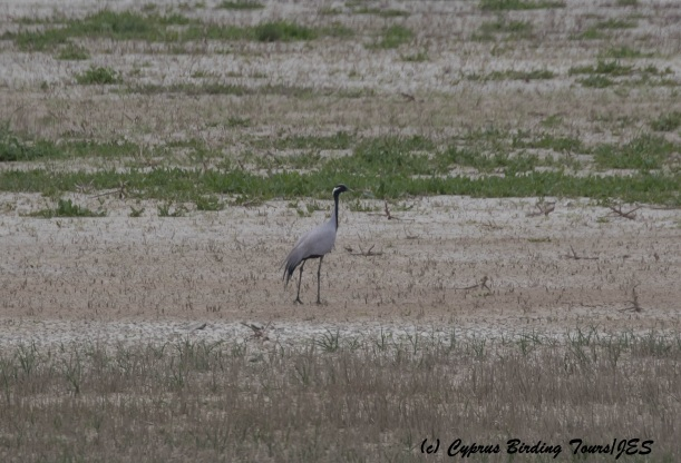 Demoiselle Crane, Kouklia Dam 25th March 2016 (c) Cyprus Birding Tours