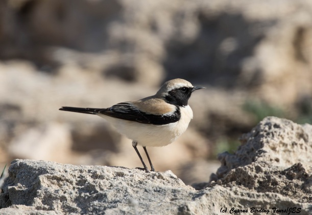 Desert Wheatear Cape Greco 4th March 2016 (c) Cyprus Birding Tours