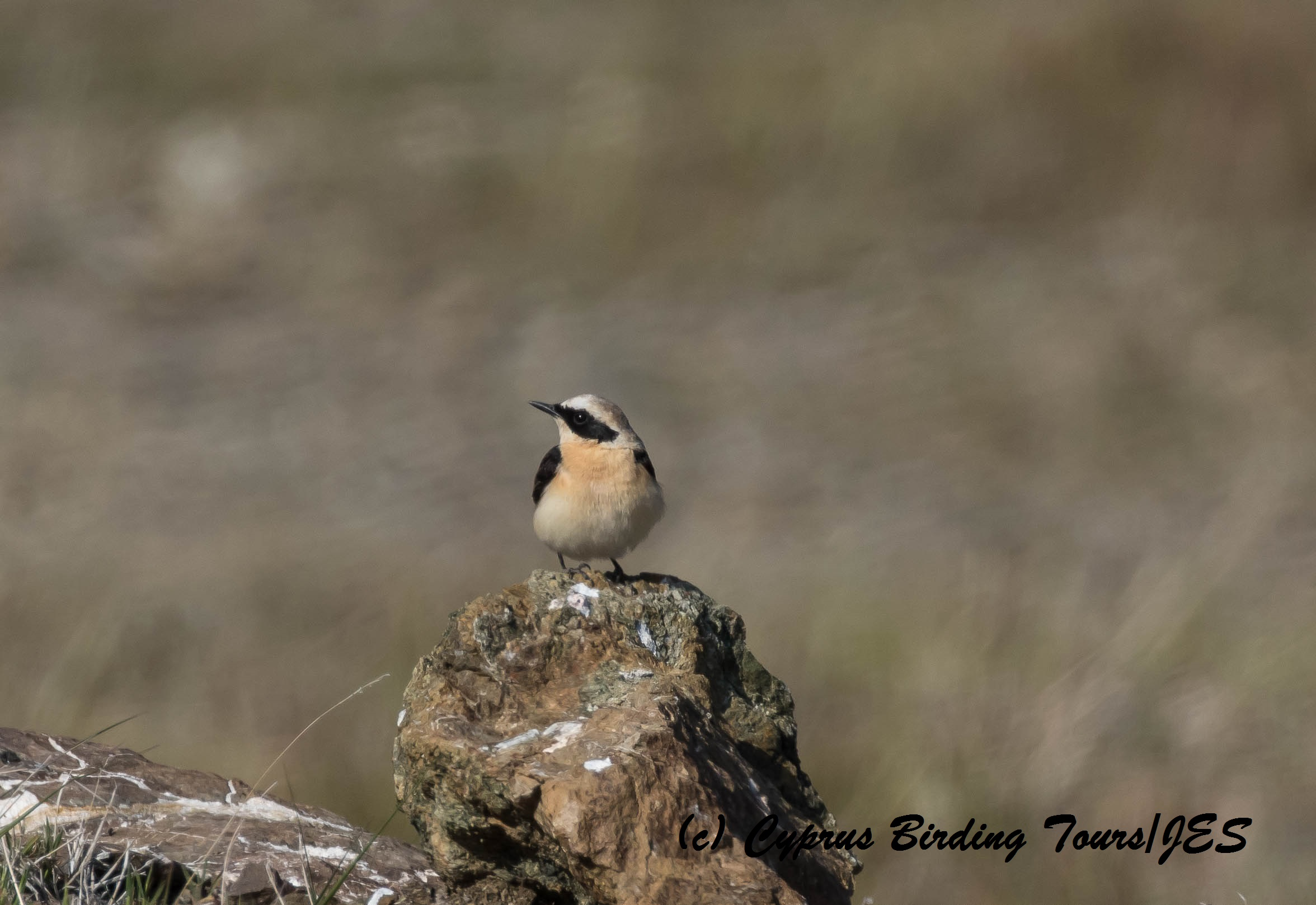 Eastern Black-eared Wheatear pale throated male, Anarita Park 22nd March 2016 (c) Cyprus Birding Tours