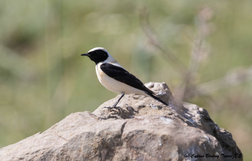 Eastern Black-eared Wheatear dark throated male, Anarita Park 22nd March 2016 (c) Cyprus Birding Tours