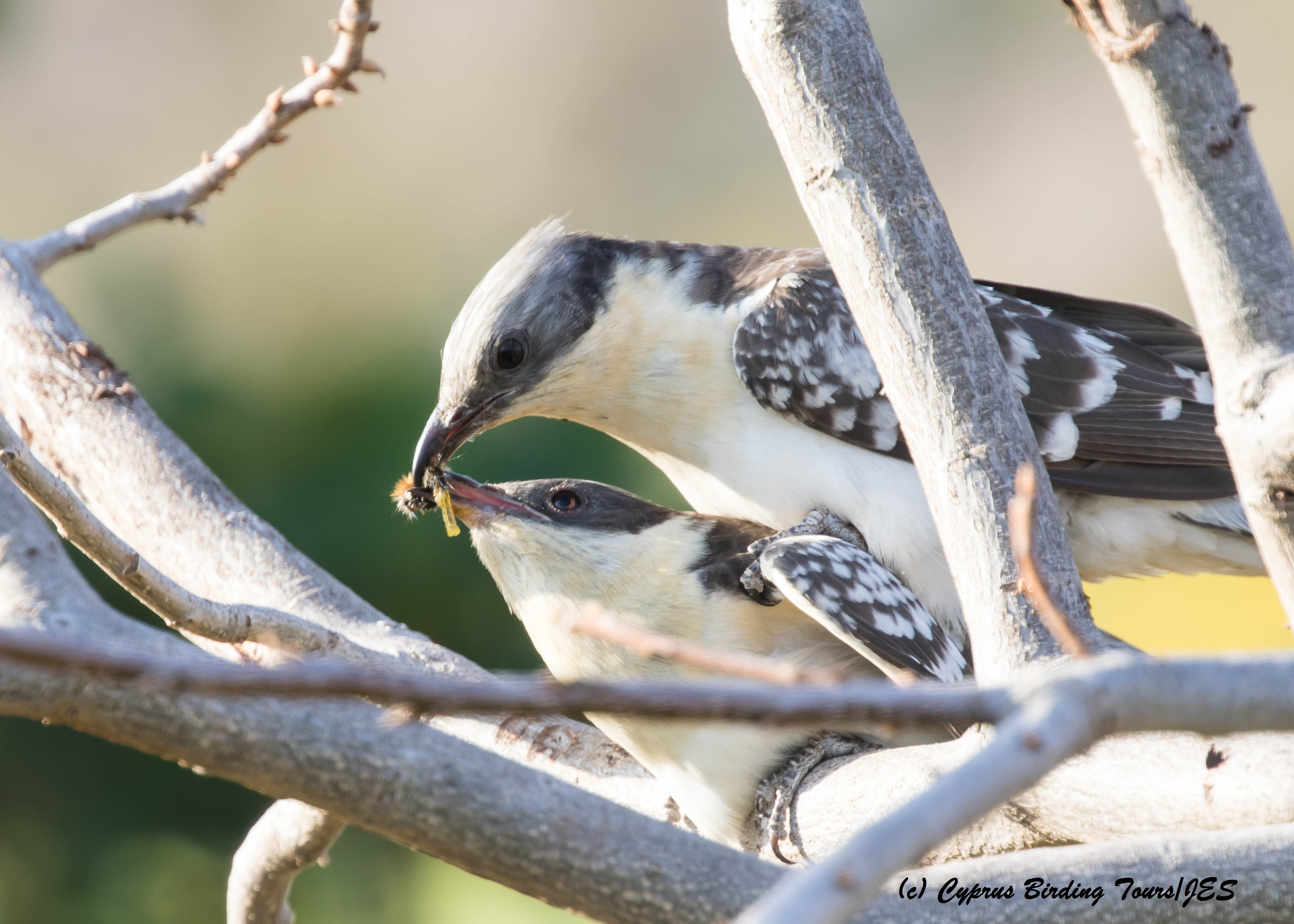 Great Spotted Cuckoo mating, Agia Varvara 22nd March 2016 (c) Cyprus Birding Tours