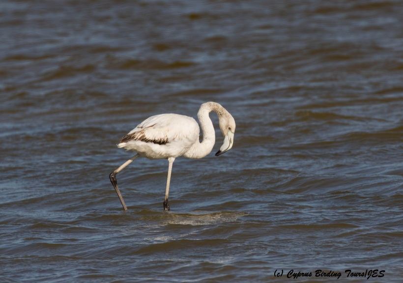 Immature Greater Flamingo Meneou Pool 13th March 2016 (c) Cyprus Birding Tours