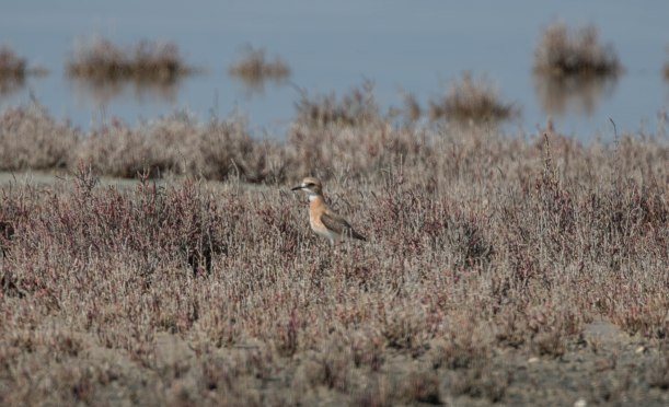 Greater Sand Plover, Lady's Mile 31st March 2016(c) Cyprus Birding Tours
