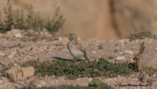 Greater Short-toed Lark, Paphos Headland, 11th March 2016 (c) Cyprus Birding Tours