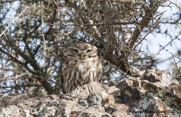 Little Owl, Anarita Park 9th March 2016 (c) Cyprus Birding Tours