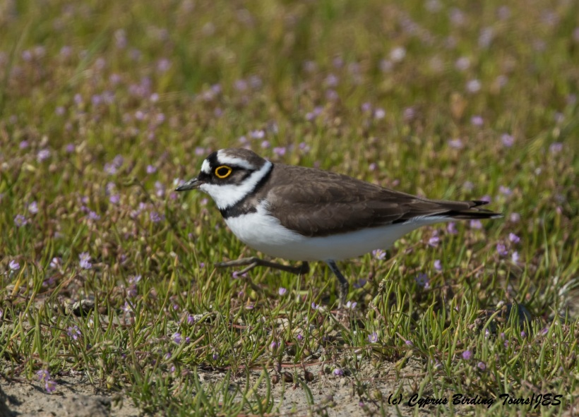 Little Ringed Plover, Petounta Point, 16th March 2016 (c) Cyprus Birding Tours