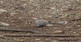 Namaqua Dove, Mandria 15th March 2016 (c) Cyprus Birding Tours