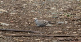 Namaqua Dove, Mandria 15th March 2016 (c) Cyprus Birding Tours