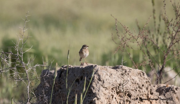 Distant record shot of Richard's Pipit, Paphos Headland 11th March 2016 (c) Cyprus Birding Tours