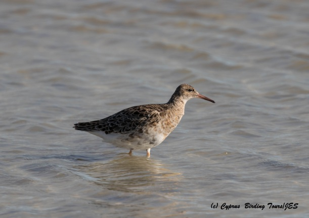 Ruff, Lady's Mile 20th March 2016 (c) Cyprus Birding Tours