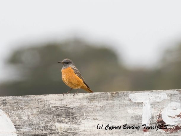 Rufous-tailed Rock Thrush 2, Karpasia 26th March 2016 with signature