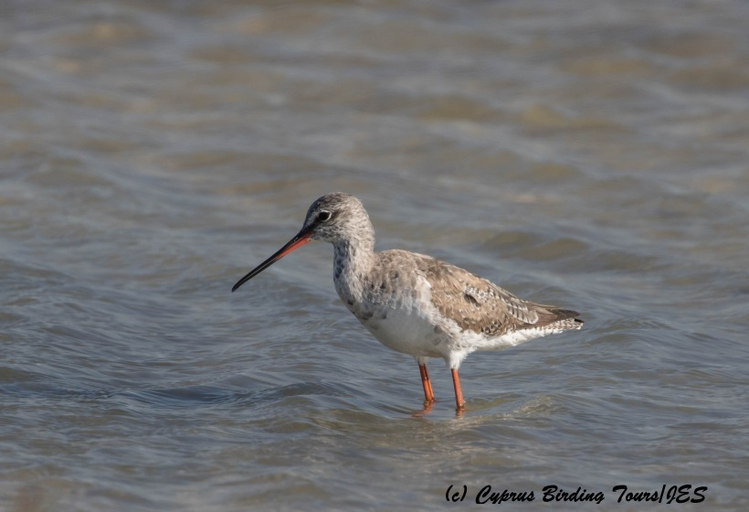 Spotted Redshank, Lady's Mile 20th March 2016 (c) Cyprus Birding Tours