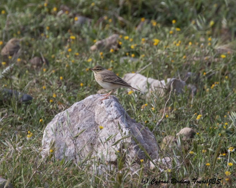 Tawny Pipit, Anarita Park 28th March 2016 (c) Cyprus Birding Tours