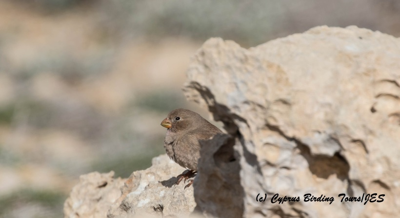 Trumpeter Finch Cape Greco 4th March 2016 (c) Cyprus Birding Tours