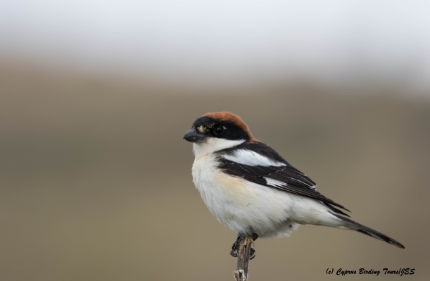 Woodchat Shrike, Anarita Park 28th March 2016 (c) Cyprus Birding Tours