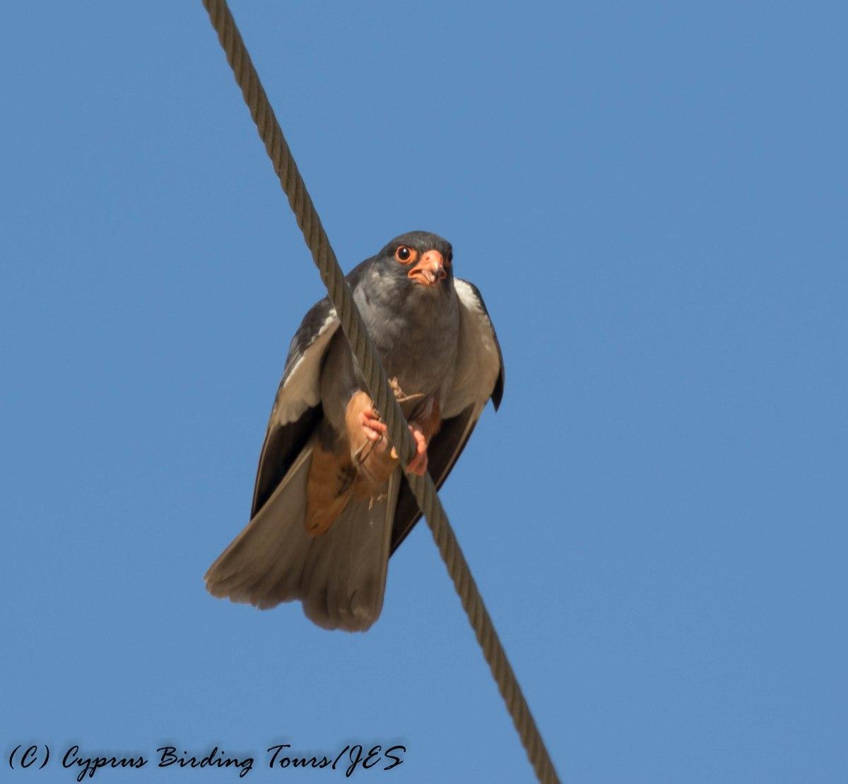 Amur Falcon, Anarita Park, 29th April 2016 (c) Cyprus Birding Tours