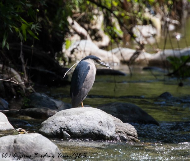 Black-crowned Night Heron, Tzelefos Bridge, 29th April 2016 (c) Cyprus Birding Tours