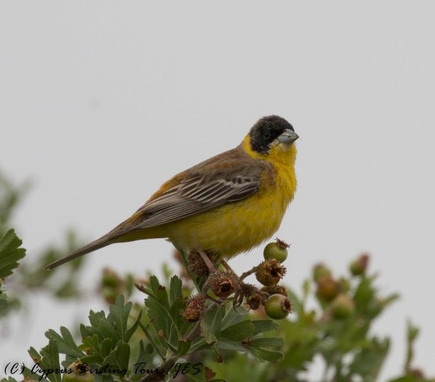 Black-headed Bunting, Pittokopos, 24th April 2016 (c) Cyprus Birding Tours