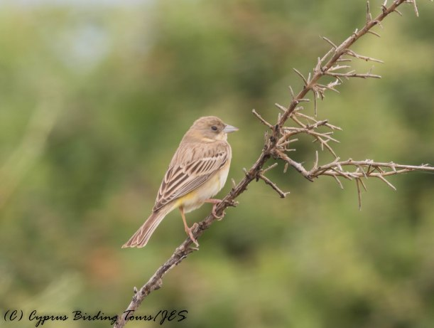 Black-headed Bunting female, Pittokopos, 24th April 2016 (c) Cyprus Birding Tours