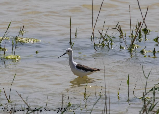 Black-winged Stilt, Oroklini Marsh 26th April 2016 (c) Cyprus Birding Tours