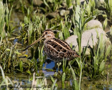 Common Snipe, Agia Varvara 29th April 2016 (c) Cyprus Birding Tours