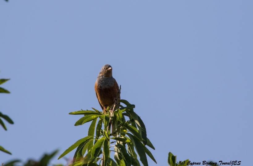 Cretzschmar's Bunting, Prastio April 7th 2016 (c) Cyprus Birding Tours