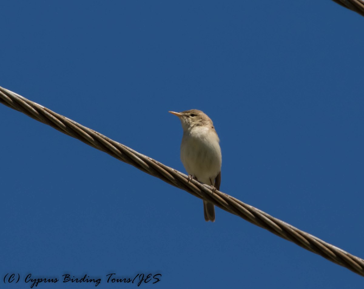 Eastern Olivaceous Warbler, Omodos 29th April 2016 (c) Cyprus Birding Tours