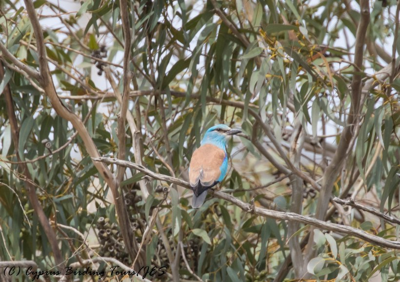 European Roller., Agios Sozomenos, 25th April 2016 (c) Cyprus Birding Tours
