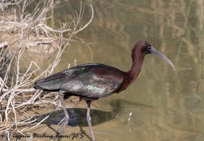 Glossy Ibis, Zakaki Marsh 29th April 2016 (c) Cyprus Birding Tours
