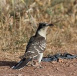Great Spotted Cuckoo, Anarita Park, 22nd April 2016 (c) Cyprus Birding Tours