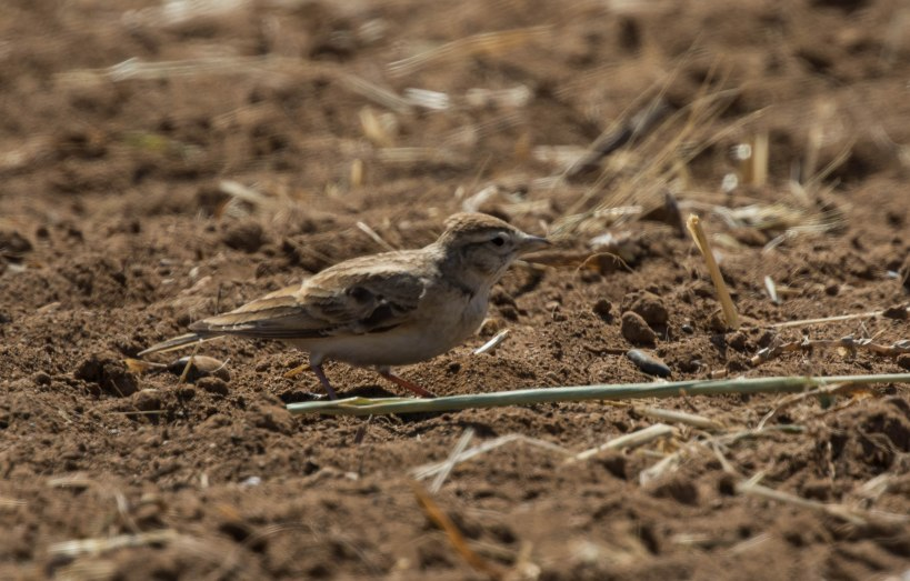 Greater Short-toed Lark, Larnaca 4th April 2016