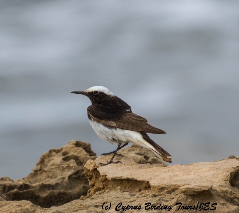 Hooded Wheatear, Timi Beach. 11th April 2016 (Cyprus Birding Tours)