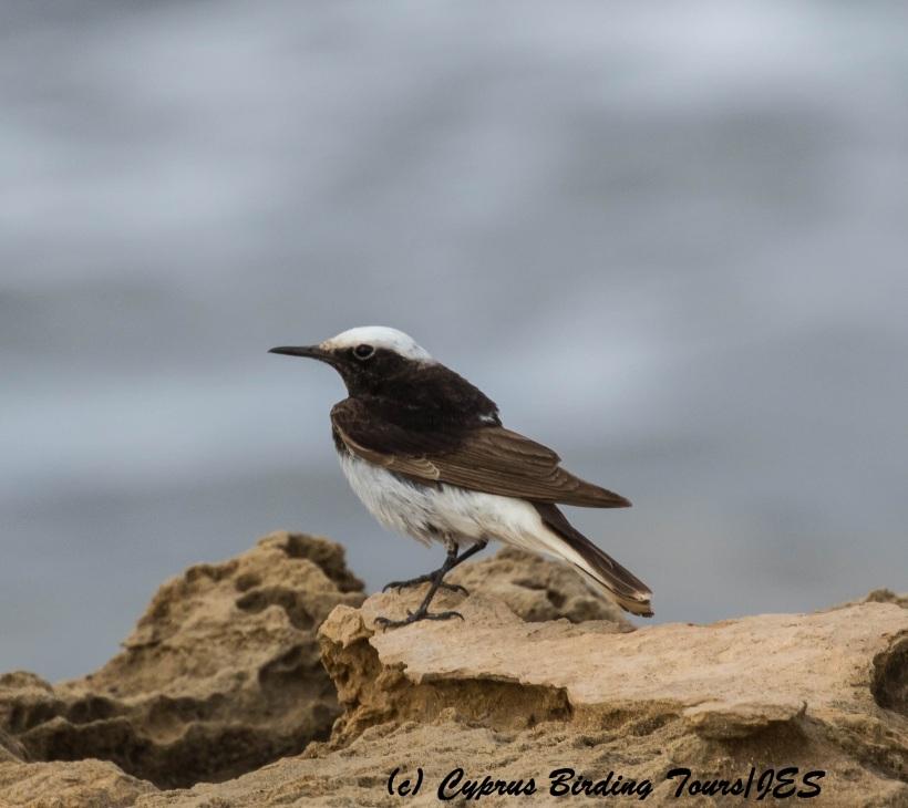 Hooded Wheatear, Timi Beach. 11th April 2016 (Cyprus Birding Tours)