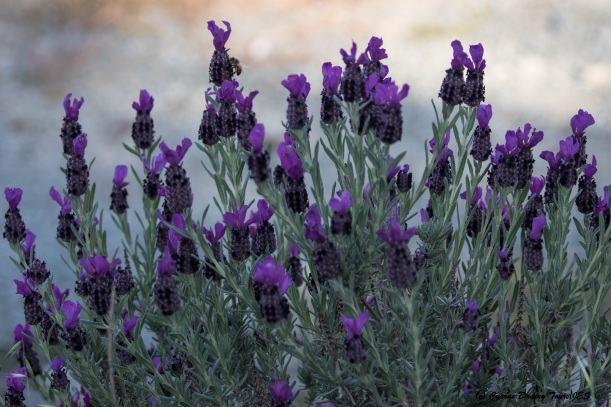 Lavender, Prastio April 7th 2016 (c) Cyprus Birding Tours