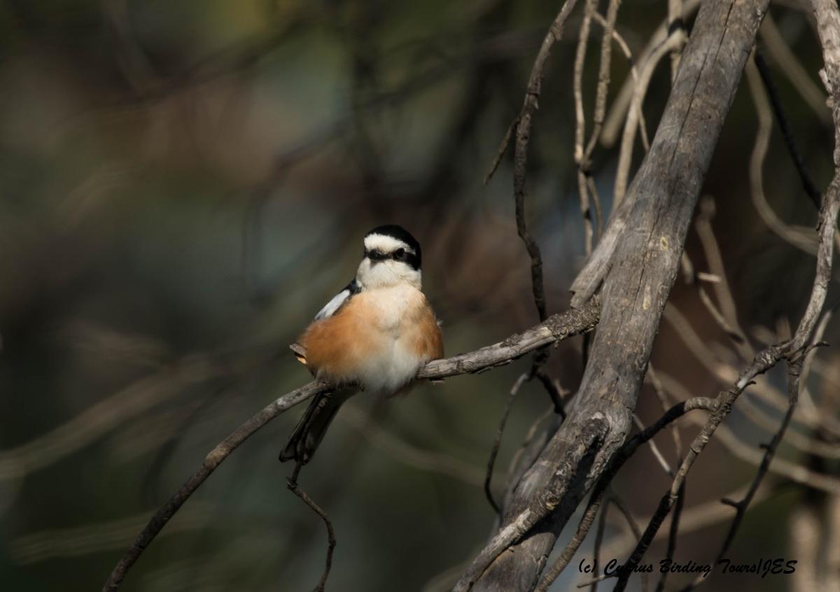 Masked Shrike, Prastio 7th April 2016 (c) Cyprus Birding Tours