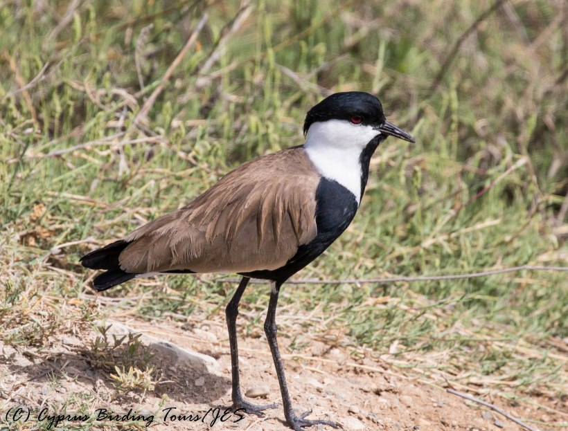 Spur-winged Lapwing, Oroklini Marsh 26th April 2016 (c) Cyprus Birding Tours