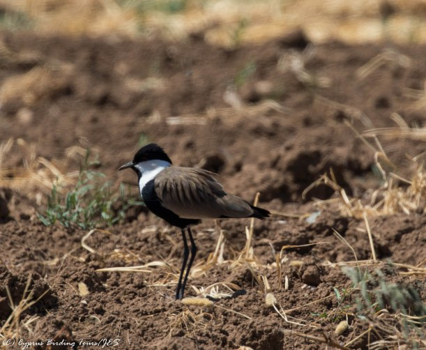 Spur-winged Lapwing, Mandria 22nd April 2016 (c) Cyprus Birding Tours