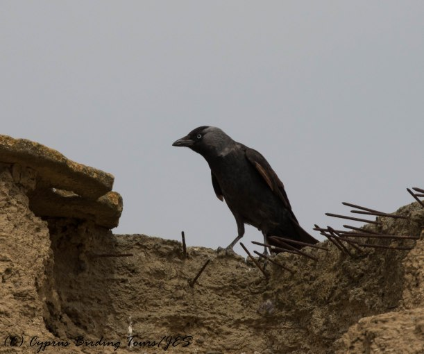 Western Jackdaw , Agios Sozomenos, 25th April 2016 (c) Cyprus Birding Tours