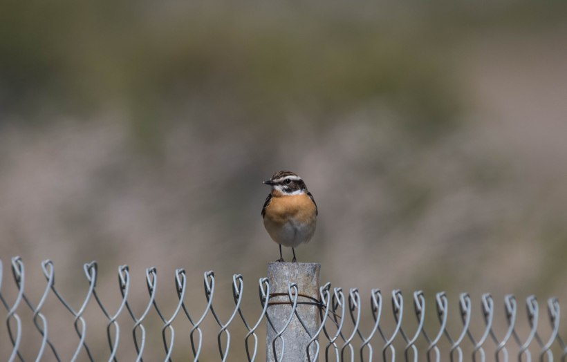 Whinchat, Akrotiri, 6th April 2016 (c) Cyprus Birding Tours