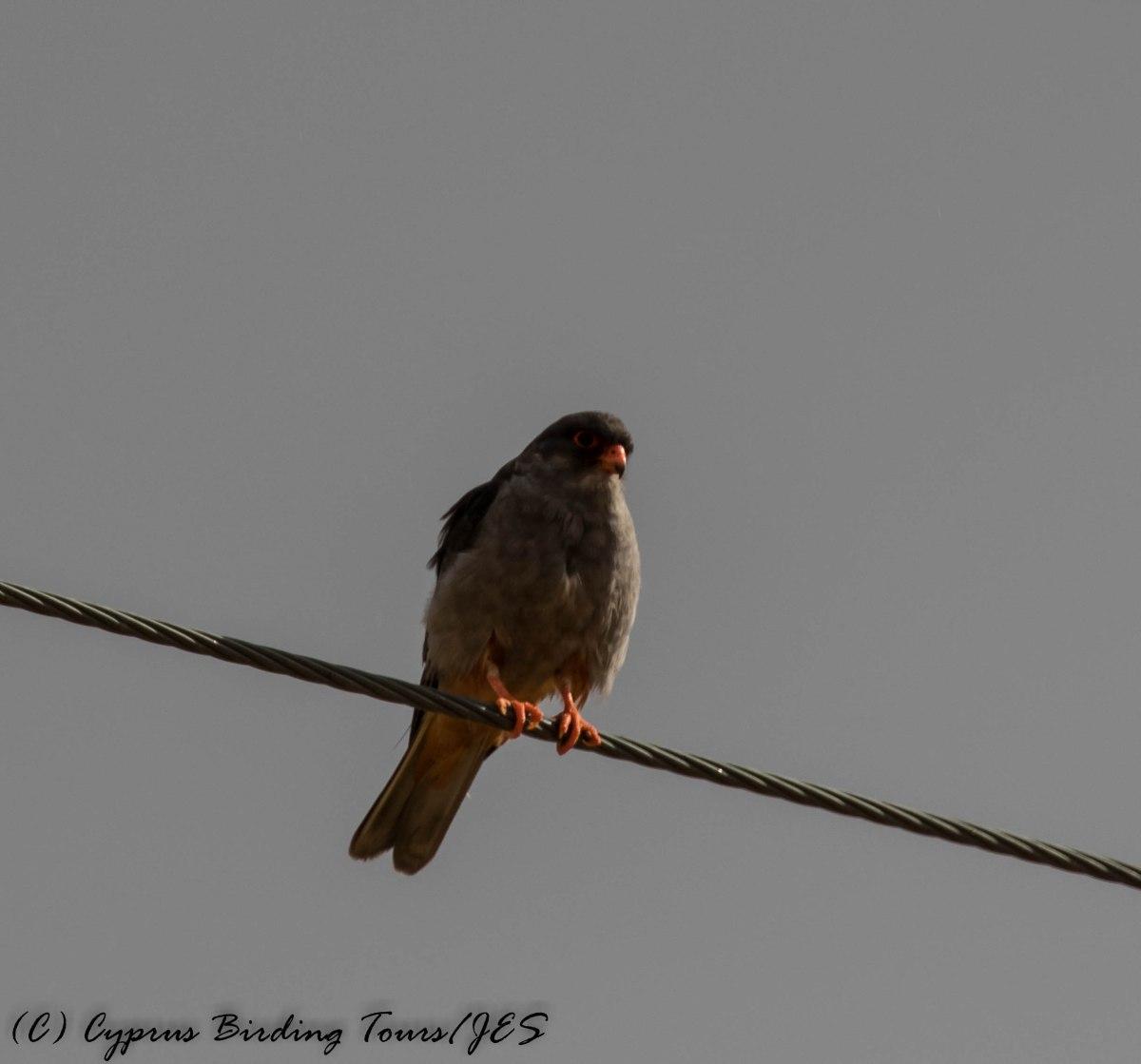 Amur Falcon, Anarita Park 5th May 2016 (c) Cyprus Birding Tours