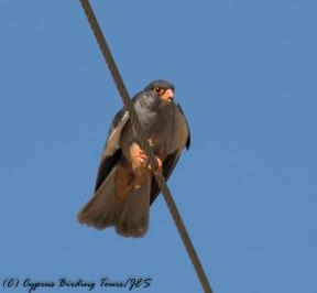 Amur Falcon , Anarita Park, 29th April 2016 (c) Cyprus Birding Tours