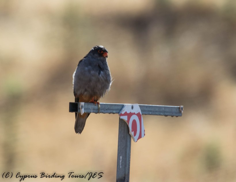 Amur Falcon drying off in the rain, Anarita Park, 6th May 2016