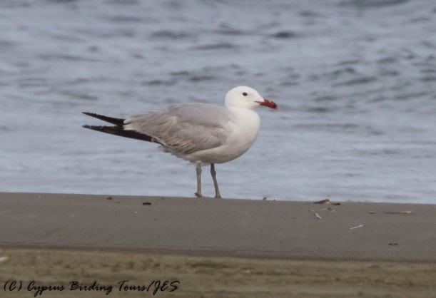 Auduoin's Gull 2, Spiros Beach 17th May 2016 (1 of 1)