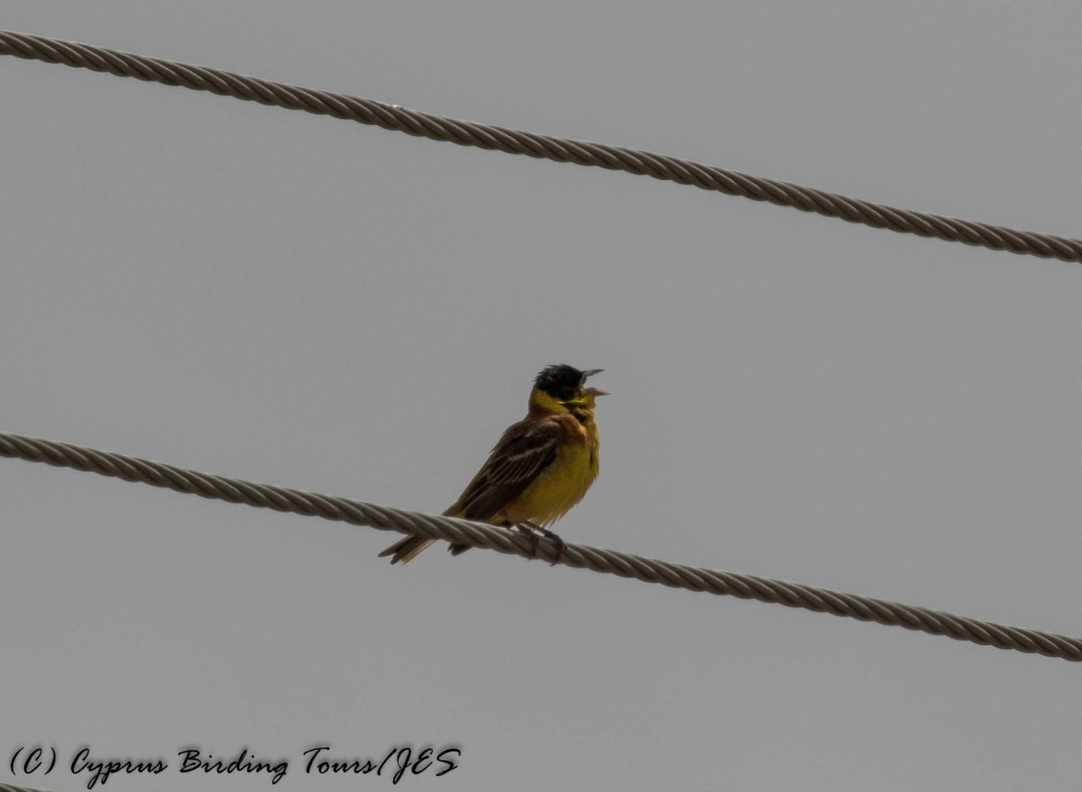 Black-headed Bunting, Arodes, 6th May 2016 (c) Cyprus Birding Tours