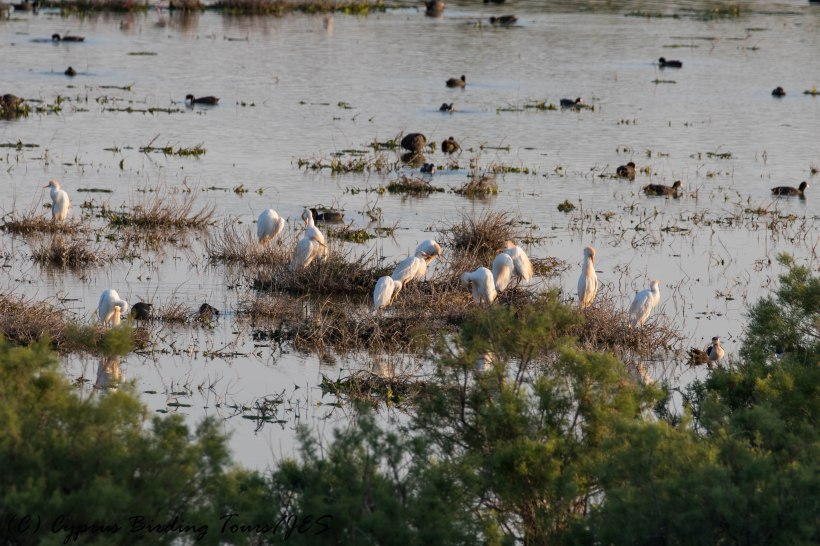 Cattle Egret, Oroklini Marsh, 9th May 2016 (c) Cyprus Birding Tours