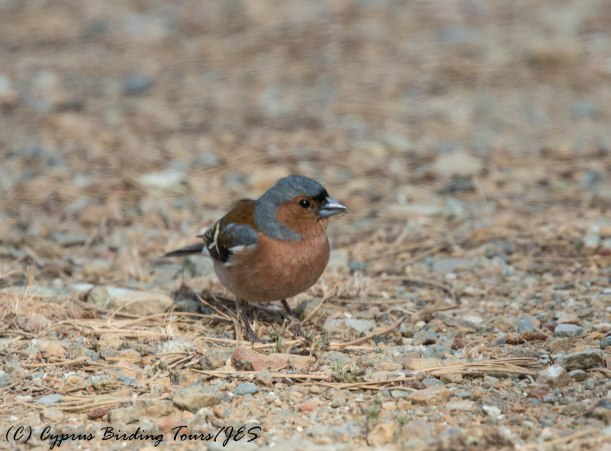 Common Chaffinch, Livadi tou Pashia, 31st May 2016 (c) Cyprus Birding Tours