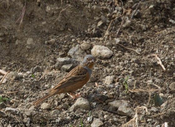 Cretzschmar's Bunting, Anarita Park 5th May 2016 (c) Cyprus Birding Tours