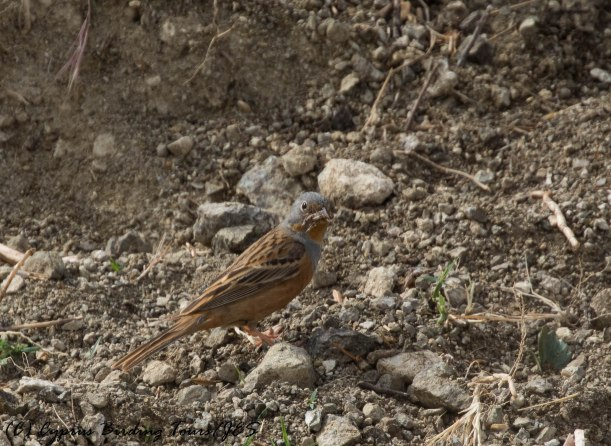 Cretzschmar's Bunting, Anarita Park 5th May 2016 (c) Cyprus Birding Tours