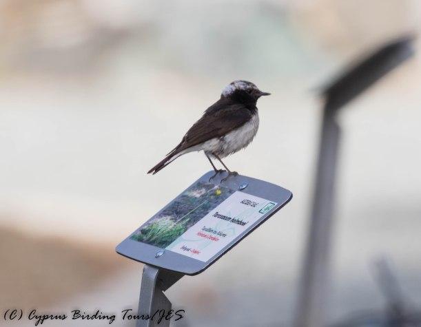 Cyprus Wheatear, Amiandos, 31st May 2016 (c) Cyprus Birding Tours